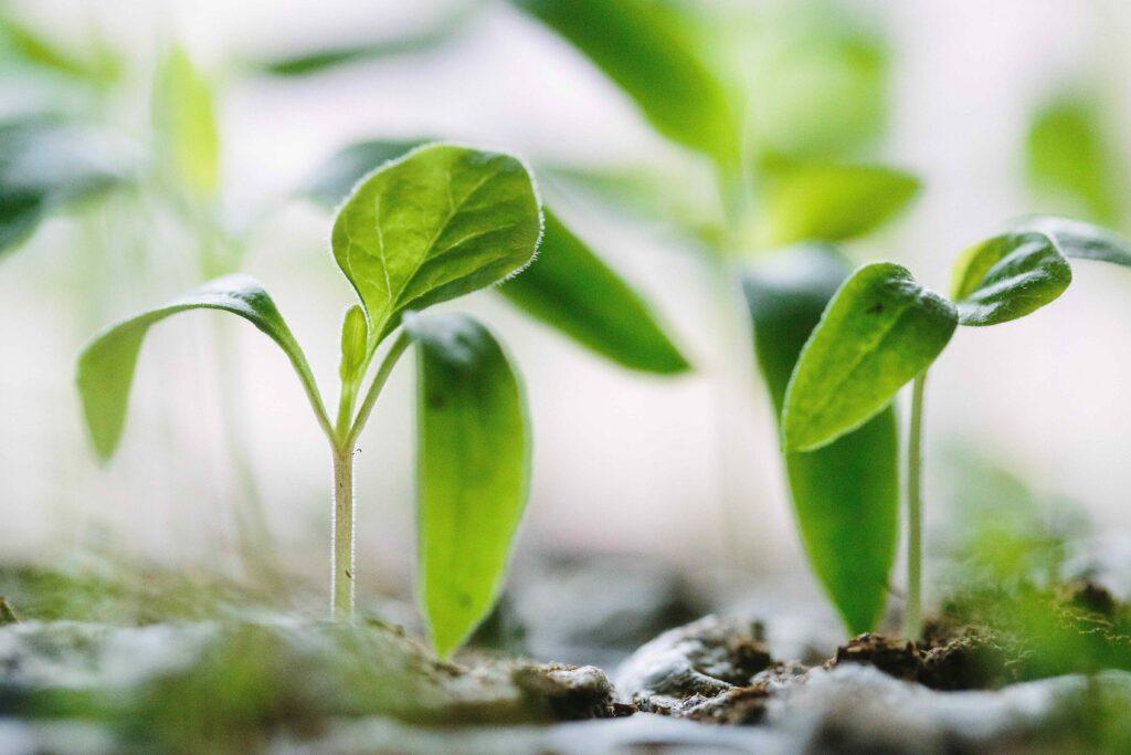 bouture de plante