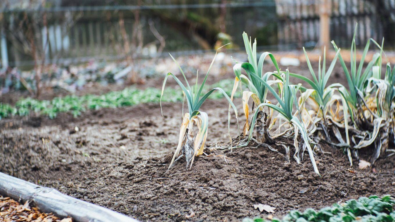 plants de poireaux
