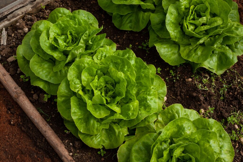 quand repiquer plant salade ?