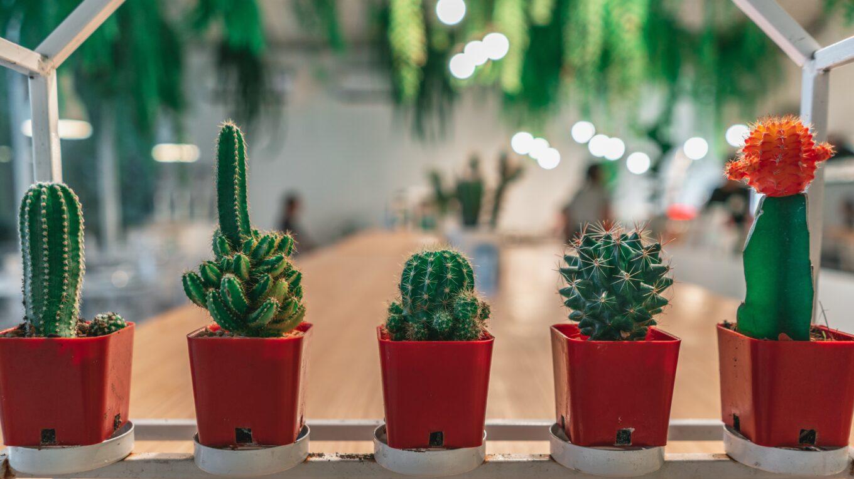 bouturage cactus
