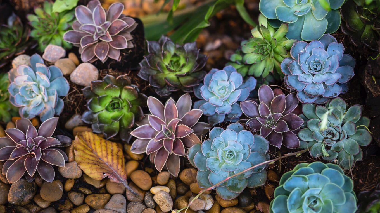 bouturer plante succulente